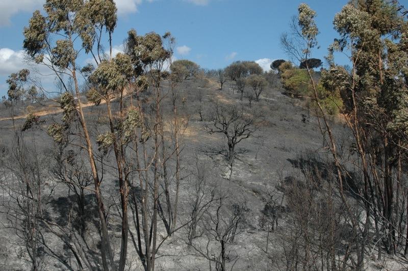 En stor mängd eucalyptusträd har gått åt.