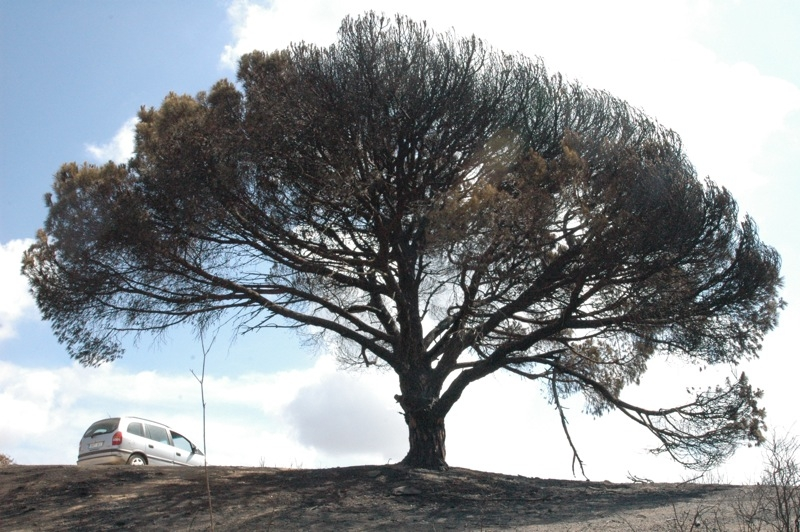 Ett ensamt pinjeträd på en topp har klarat sig med endast några grenar svedda.