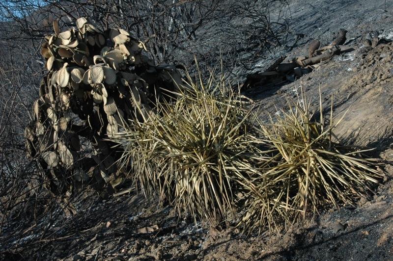 Kaktusarna har inte brunnit, men dött likaså.<br /><br />---<br /><br />Los cactus no han ardido, pero aún así han perecido.