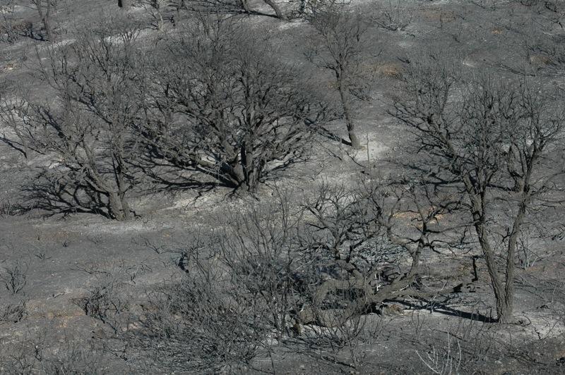 De flesta buskar och träd har kvar sina grenar, vilket vittnar om att brandförloppet varit mycket snabbt.<br /><br />---<br /><br />La mayoria de los árboles y los arbustos mantienen sus ramas, lo que indica que la evolución del incendio fue muy rápida.