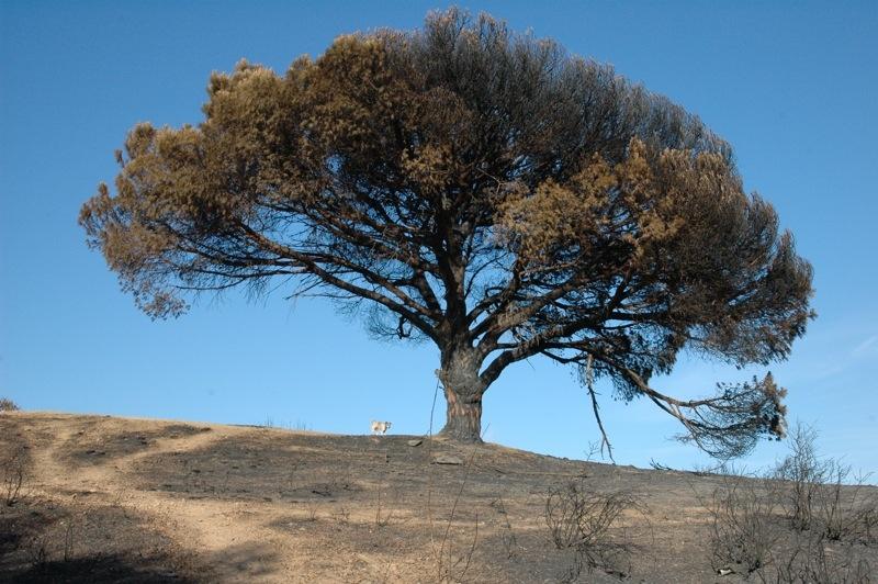 Ett majestätiskt pinjeträd med några brända grenar ser ut att kunna återhämta sig.<br /><br />---<br /><br />Un pino majestuoso parece que se pueda recuperar, a pesar de tener varias ramas quemadas.