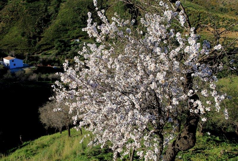 Mandelträden blommar i Andalusien precis i början på året och blommorna är lika vackra på avstånd som på nära håll. Foto: Richard Björkman