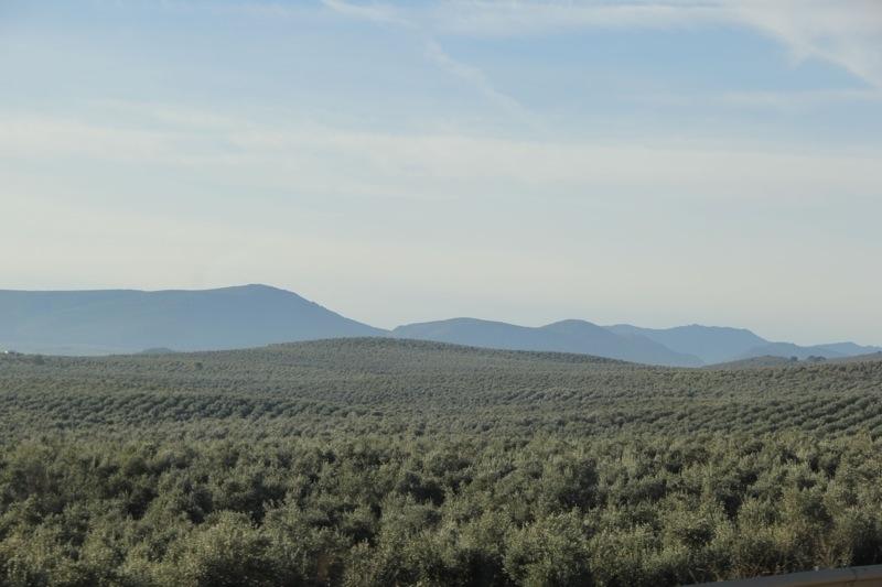 Foto från Sydkustens tredje resa till Jaénprovinsen, i samband med olivskörden 2014. Fotograf: Richard Björkman