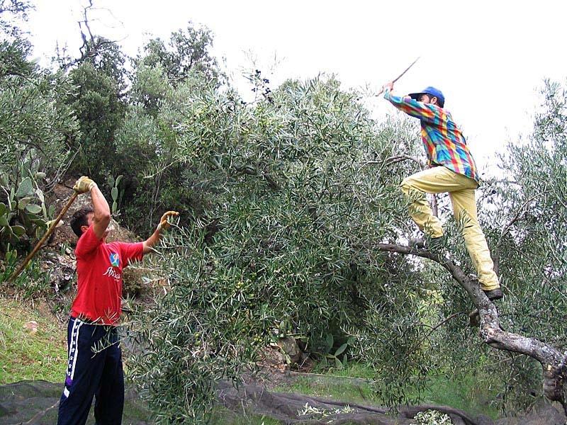 Stora nät placeras under träden för att samla upp oliverna. Det är ett hårt arbete som fortfarande utövas med samma metoder som för flera hundra år sedan.