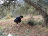 Männen brukar slå ner oliverna medan kvinnor  och barn plockar upp redan fallna oliver på marken.  Dessa plockas för hand.