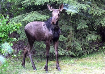 Muchos lectores propusieron nombre para el supuesto alce macho en Bioparc Fuengirola.