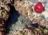 Bland klipporna kan man finna anemoner.