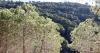 Pinjeträden dominerar landskapet i Mijasberget.