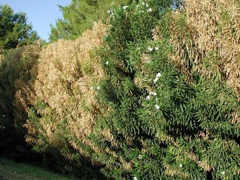 Nerium Oleander drabbat av bakterien Xylella fastidiosa. Foto: Pompilid/Wikimedia Commons