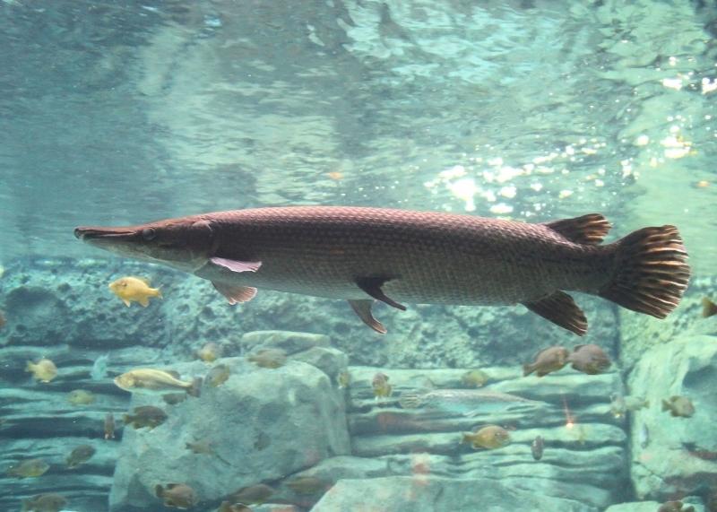 Krokodilfisken kan bli upp till två meter lång. Foto: Greg Hume/Wikimedia Commons
