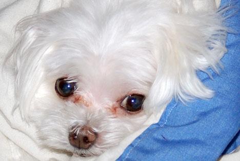 Hunden är av rasen malteser och har omhändertagits av Triple A. (Arkivbild)