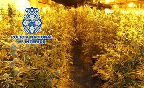 De upptäckta cannabisplantorna. Foto: Policía Nacional