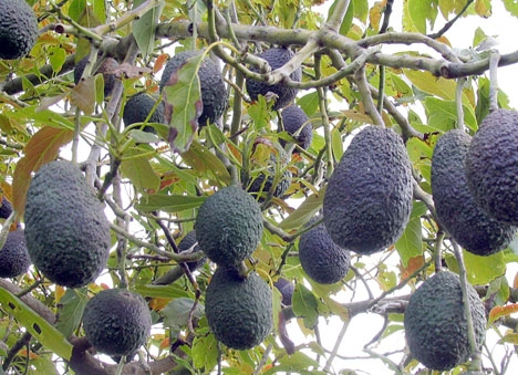Avokadoodlingarna i Estepona är oftast obevakade och kilopriset i handeln ligger på mellan fyra och fem euro.