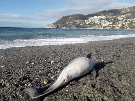 Honan är av arten strimmig delfin. Foto: Ayto de Almuñécar
