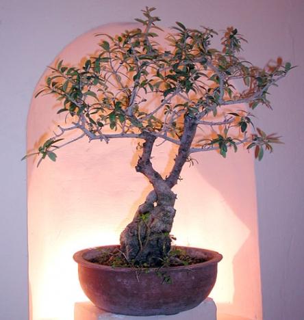 Den som gillar bonsais har endast några månader kvar på sig att besöka Marbellas unika museum.