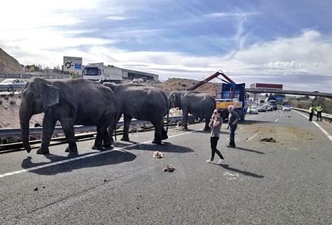 Elefanterna behöll lugnet och väntade på vägbanan tills en ny transport anlände till platsen. Foto: Policía Local de Albacete/Twitter