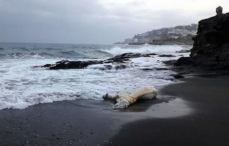 Hästliket hittades 21 april på en strand öster om Almuñécar. Foto: Ayto de Almuñécar