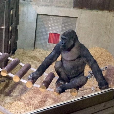 Gorillan Echo på Kolmårdens djurpark får snart åka på kärleksresa till Costa del Sol. Foto: Bioparc Fuengirola