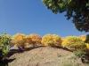 De färgsprakande kanstanjeträden bildar en stor kontrast mot den klarblå himlen och den rensade marken.