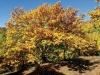 Färgprakten under kopparhösten är enorm, men det gäller att pricka in fenomenet som varar knappt två veckor.