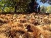 Kastanjekapslarna bildar en vacker matta på marken. Kastanjerna kan ätas som de är, men passa sig för de mycket vassa taggarna!
