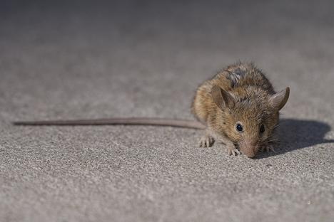 Det ska finnas en råtta per sju Barcelonabor, vilket är färre än snittet i exempelvis New York. Foto: G. Scott Segler/Wikimedia Commons