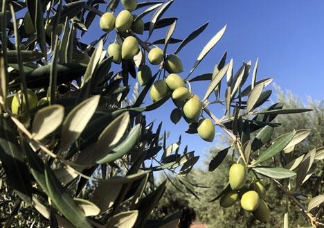 Ett flertal kända märken anklagas för att sälja olivolja av sämre kvalitet som Vírgen Extra.