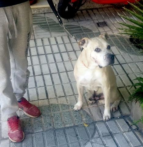 Hunden är en korsning mellan dogo canario och pitbull. Foto: Ayto de Almuñécar