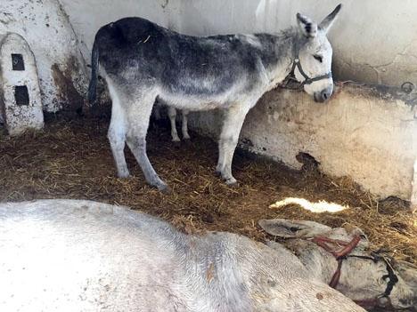 Den döda åsnan, i det trånga båset. Foto: PACMA
