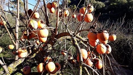 Caqui heter Persimon på svenska och är som godast tidig vinter i Spanien.