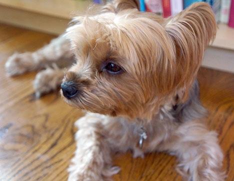 Hunden som räddade sin husse heter Peluche och är av rasen Yorkshire. (ARKIVBILD) Foto: FASTILY/Wikimedia Commons