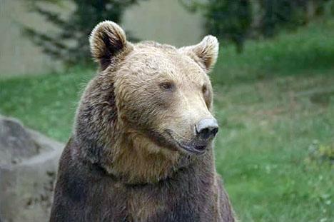 Björnprojektet vid pyrenéerna har inte gått som planerat. Foto: Bernard-Boehne/Wikimedia Commons ARKIVBILD
