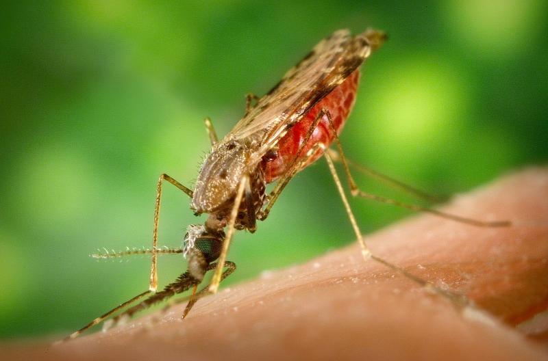 Malaria är en tropisk sjukdom som sprids av myggor. Foto: James Gathany/Wikimedia Commons