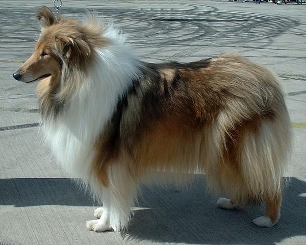 Den räddade hunden är av rasen collie. ARKIVBILD
