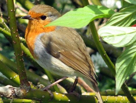 Rödhake är en av många fågelarter som stryker med i olivskörden. Foto: Antiquary/Wikimedia Commons