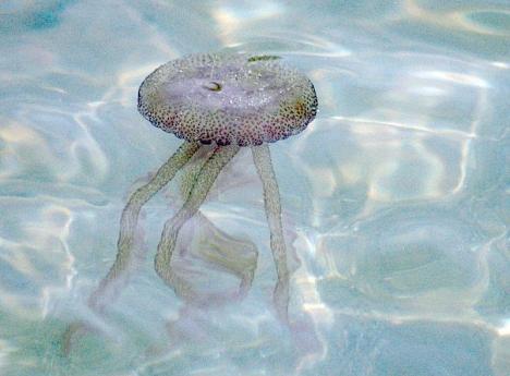 Den vanligaste maneten som kan förekomma på Costa del Sol är lysmaneten, som orsakar obehaglig sveda vid beröring med tentaklerna.