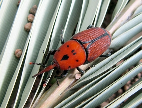 Den egyptiska skalbaggen har hittills varit den mest förödande invasionsarten på Costa del Sol. Foto: Katja Schulz/Wikimedia Commons