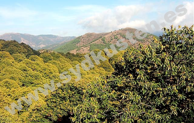 I Valle del Genal har det funnits kastanjeträd sedan romartiden. Det sägs att några av de träden fortfarande lever.