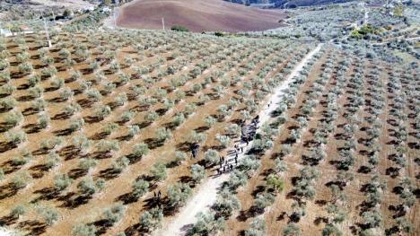 De sista olivträden för säsongen skördades 23 november i den svenskägda gården Finca Solmark, vid byn Carratraca.  Svenska företagare fick tillfälle att nätverka vid näten under olivträden.