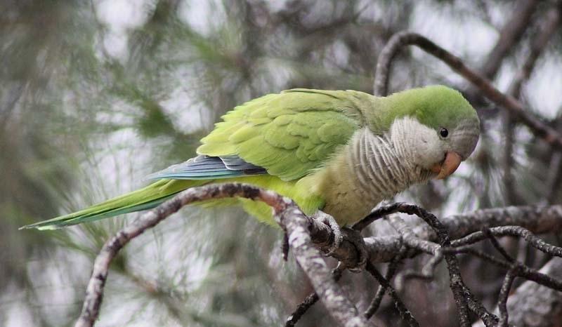 Munkparakiten är en sällskapspapegoja som spritt sig i det fria.