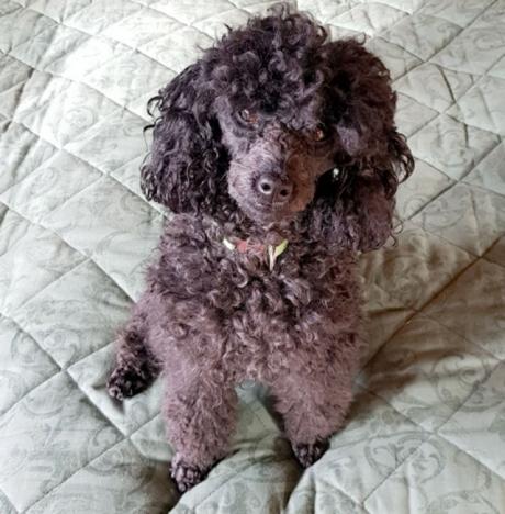 En av de förgiftade hundarna var toypudeln Honey, vars matte är svenska. Foto: Privat