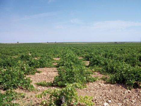 Arién är en lättodlad druva som ger stora skördar och växer nästan var som helst. Druvan är så populär att den blivit världens mest odlade, Trots att den bara finns i Spanien.