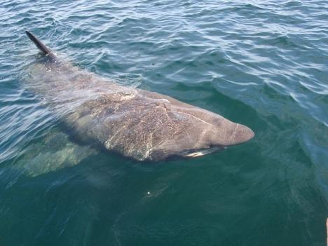Trots det skräckinjagande intrycket är brugden ofarlig och lever på plankton. ARKIVBILD