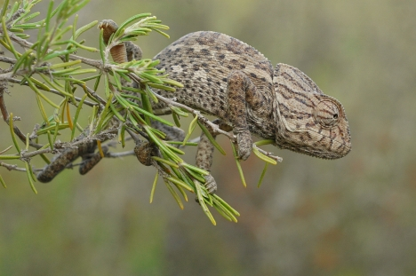 Så kallad vanlig kameleont (Chamaeleo chamaeleon) lever naturligt på södra Iberiska halvön. Den kan bli upp till 30 cm lång.