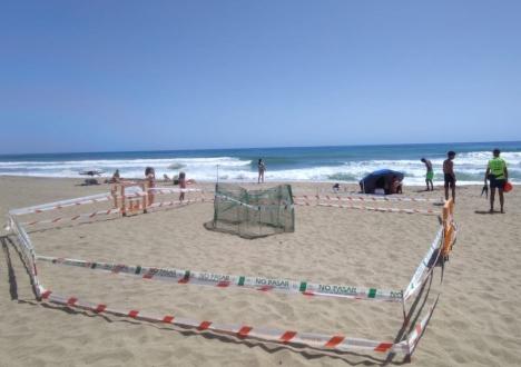 Sköldpaddsäggen lades av honan på stranden i Los Boliches, men flyttades till den lugnare Playa de Calahonda för att ha större chans att överleva. Foto: Ayuntamiento de Marbella