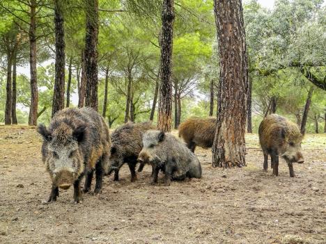 Vildsvin i tätbebyggda områden har blivit vanligare, framför allt i Mijas, Marbella och Benahavís.