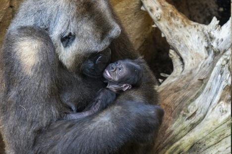 Gorillan Buu i Fuengirola är nybliven moder till en frisk liten bebis som för övrigt har svensk pappa. Foto: Bioparc Fuengirola