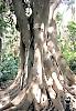 Trädgårdens äldsta exemplar är nära 150 år gamla och fikusarna imponerande i sitt omfång.