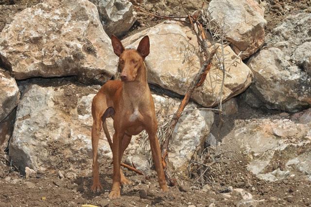 Podenco är en av de vanligaste hundraser som brukas för jakt i Spanien. ARKIVBILD