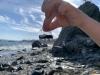 Enligt Wikipedia har Velella velella en flytkropp på omkring tio centimeter. De som flöt i land på Costa del Sol var dock inte mer än halva storleken.